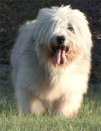 15 year old Polish Lowland Sheepdog